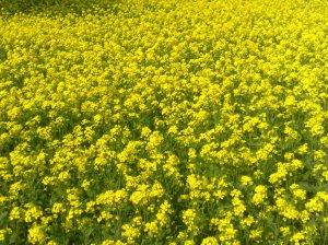 120px-Mustard_plant_bangladesh